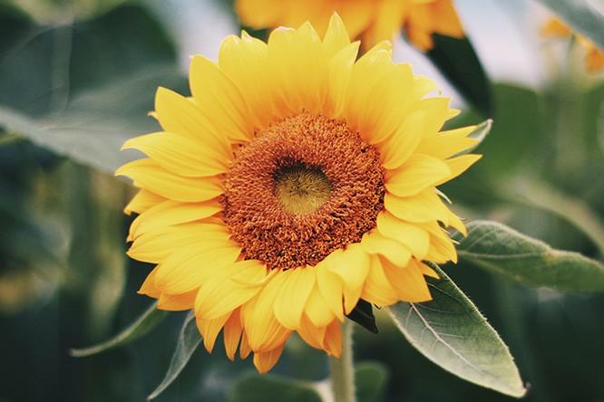 sunflower singapore